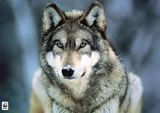Save The North American Wolf